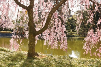 image of cherry blossom at BBG